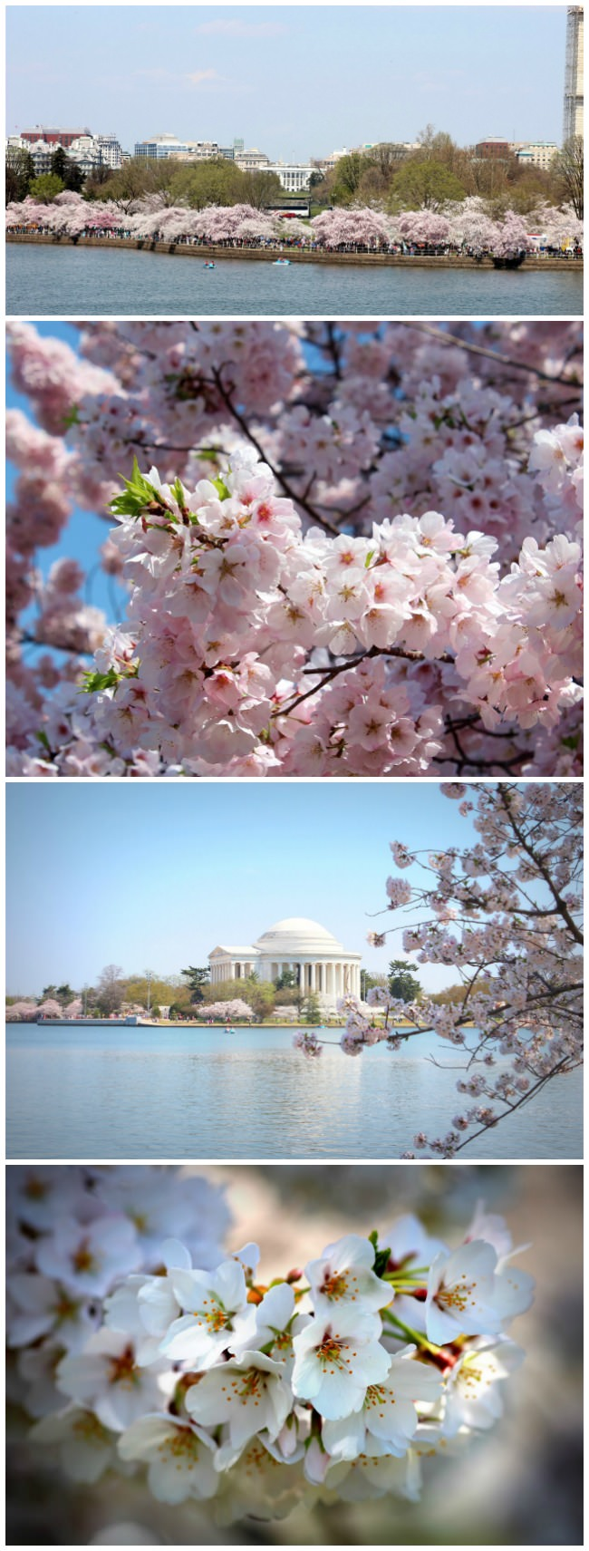 Amazing blooms at the Tidal Pool at the DC Cherry Blossoms Festival