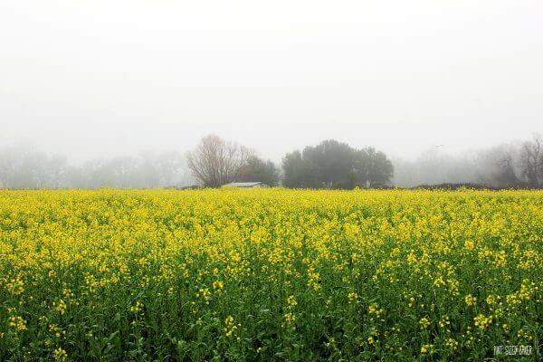 February is the time for the Mustard Seed Celebrations in Napa Valley. Don't miss these beautiful blooms.
