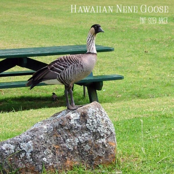 The endangered Nene Goose can only be found in a few places in Hawaii. Be on the lookout for them on the Bog Island.
