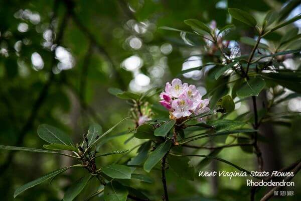 The West Virginia State Flower is the Rhododendron.