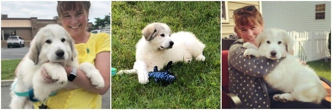 New Family Member - Beauregard the Great Pyrenees